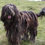 Types of hair according to the breed of dog