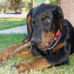 "Breeds of dogs ""The Doberman"""