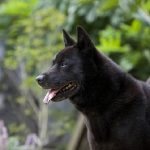 "Breeds of dogs ""The Kai"""