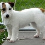 """Breeds of dogs """" The Jack Russell Terrier"""""""