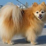 "Breeds of dogs ""The Pomeranian"""