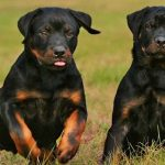 "Breeds of dogs ""The Rottweiler"""
