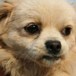 Emotional urinary disorders of the dog