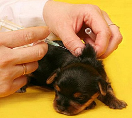 Questions about vaccination of the dog - Dogs BoneDogs Bone
