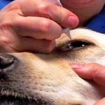 How to treat a rash around the eye of a dog