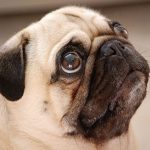 Tips for helping a pug dog to give birth