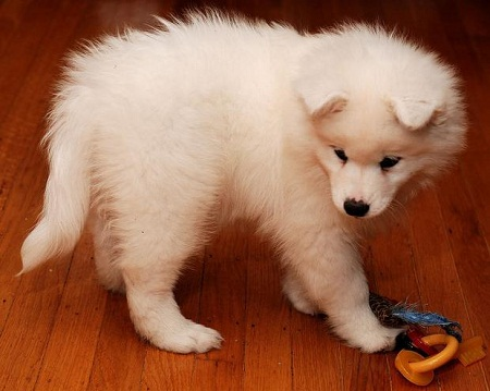 Caring for your puppy Samoyed