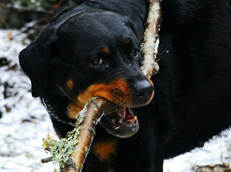 chew branches