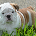 Bulldog pet care Tips