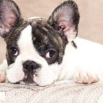 small-dog-breeds-that-do-not-grow